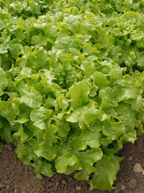 Choosing The Right Variety When Buying Lettuce Seed