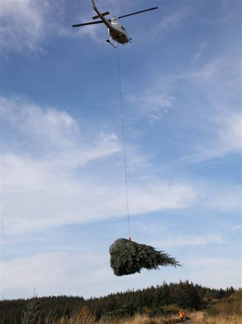 elveden christmas trees moved  kielder forest