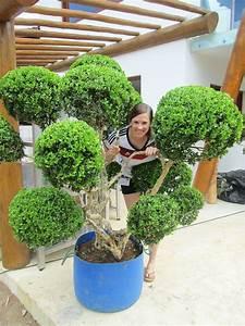 Wann Buxbaum Schneiden : buchsbaum in form schneiden ber ideen zu buchsbaum ~ Lizthompson.info Haus und Dekorationen