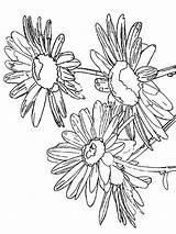 Daisy Coloring Pages Flower Flowers Printable Recommended Mycoloring sketch template