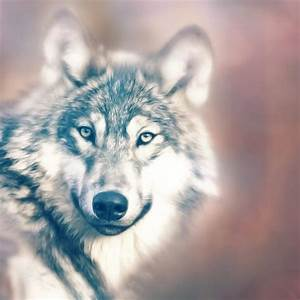 10 Dog Breeds that Look like Wolves