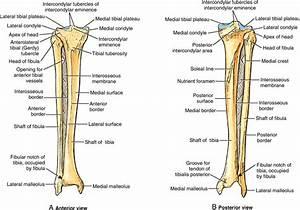 Tibiofibular Joint Anatomy