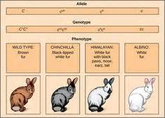 rabbit color calculator color genetics chart showing and lionhead