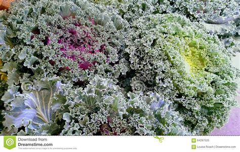 ornamental cabbage plants for sale top 28 ornamental kale plants for sale ornamental cabbage plants for sale 100 images moving