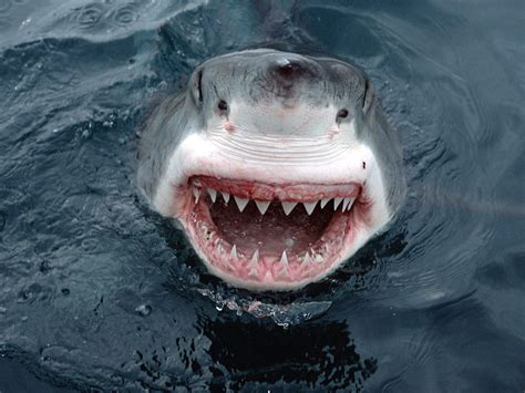 the flaming nose shark week 2011 show me your teeth boys