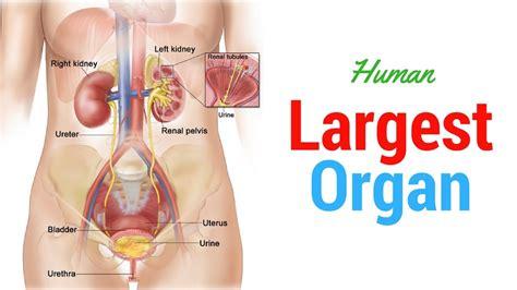 Biggest Organ In The Human Body