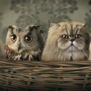owl cat owl cat wallpaper background and theme