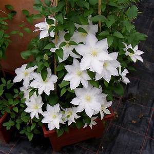 Kletterpflanzen Immergrün Winterhart : clematis 39 madame le coultre 39 native plants ~ Michelbontemps.com Haus und Dekorationen