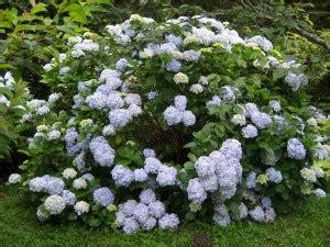 eichenblatt hortensie schneiden hortensien schneiden so geht s garten mix