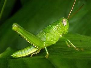 Grasshopper | Animal Wildlife