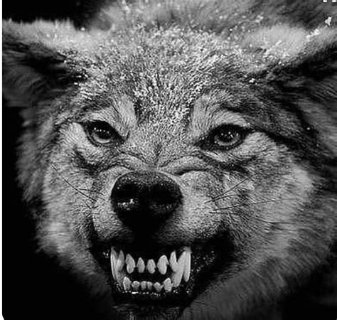 Angry Lone Wolf Wallpaper by This Badass Wolf Animals Angry Wolf Wolf