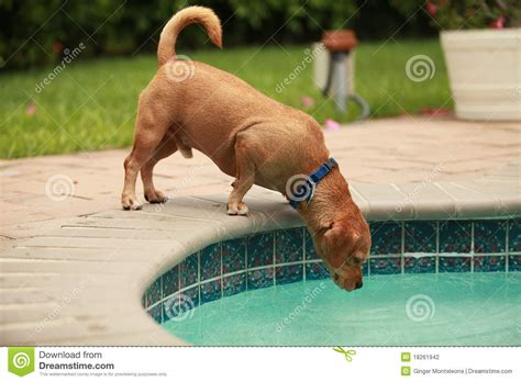 Dog Drinking Pool Water Stock Photography