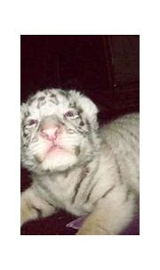 Siberian (Amur) Tiger: Rare white Siberian tiger is born ...