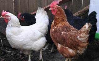 Brown and White Chickens