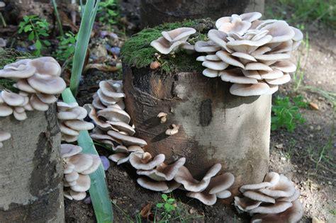 Shiitake Pilze Im Garten by Pilze Selbst Anbauen Der Waldviertler Pilzgarten Macht S