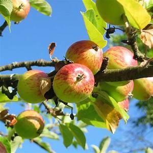 Apfelbaum Schneiden Sommer : apfelbaum im garten von der pflanzung ber die pflege bis ~ Lizthompson.info Haus und Dekorationen