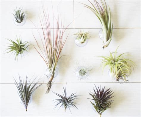 mounting air plants wall mounted air plants air plant pinterest