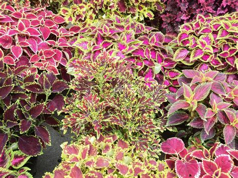 plants coleus laman kambatik plants list 3rd ed solenostemon scutellarioides coleus