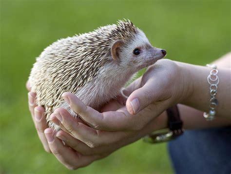 pet hedgehog think carefully before buying a mini hedgehog