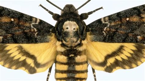 deaths head hawkmoth natural history museum youtube