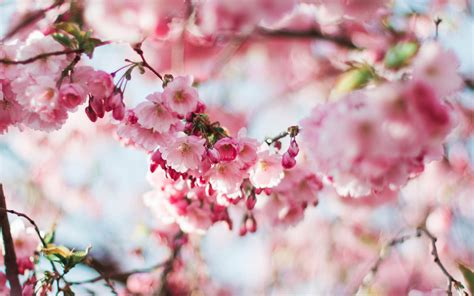 nx spring cherry blossom tree flower pink nature wallpaper