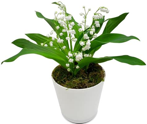 planter du muguet en pot swyze