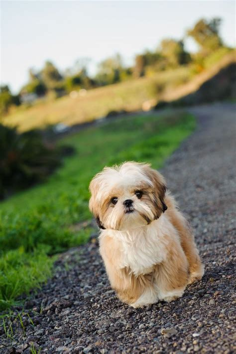 shih tzu shedding 1028 best shih tzu pictures images on animal