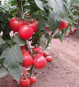 10x Enorme Tomate Árbol Semilla Delicioso Frutas Verduras ...