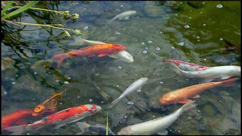 was fressen goldfische goldfische im teich