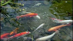 Goldfisch Haltung Im Teich : goldfische im teich youtube ~ A.2002-acura-tl-radio.info Haus und Dekorationen