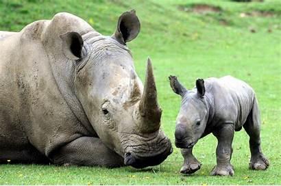 Rhino Mom Animals Adorable Animal Mother Pets