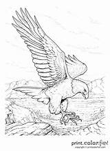 Coloring Pages Memorial Gold Rush California Adult Drawing Eagle Drawings Colouring Adults Older Sheets Bald Sketches Printable Books Bird Animal sketch template