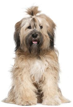 Do Tibetan Terriers Shed by 1000 Ideas About Tibetan Terrier On Terriers