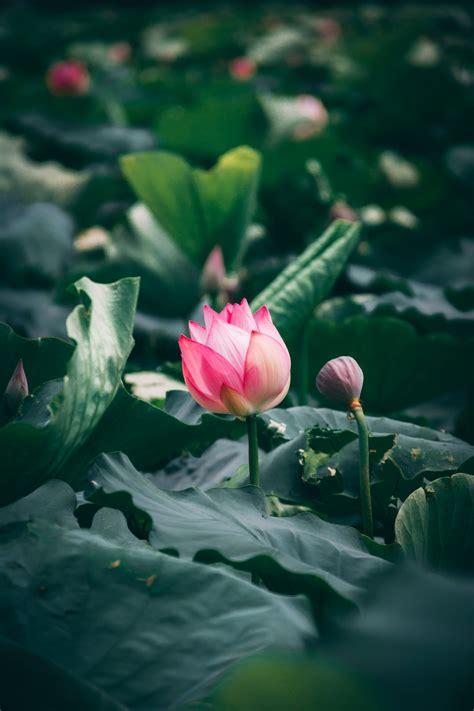 Lotus Bud Pictures | Download Free Images on Unsplash