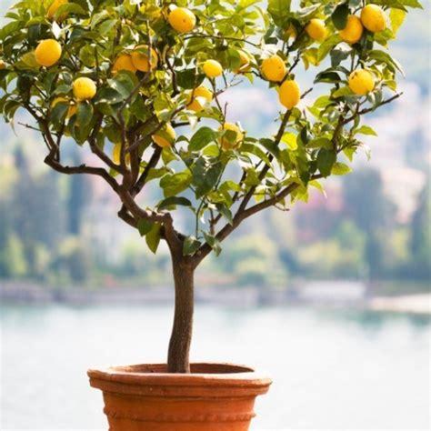 meyer lemon tree  sale   tree center