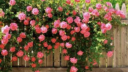 Flowers Rose Bush Fence Behind Wallpapers