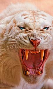 White Tiger Wallpaper 4K, Roaring, Blue eyes, Predator ...