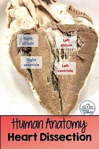 Circulatory System Lab Activity  Sheep Heart Dissection
