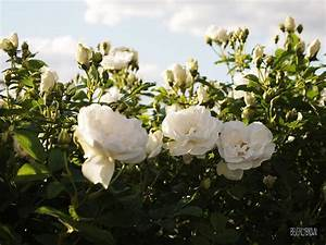 White Rosa Rugosa Photograph by Beverly Brown
