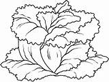 Lettuce Coloring Getdrawings sketch template