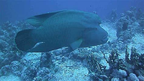 big napoleon fish   red sea youtube