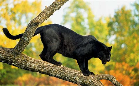 Panther Animal Wallpaper - black panther wallpapers archives hdwallsource
