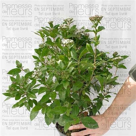 viburnum tinus laurier tin arbuste 224 feuillage