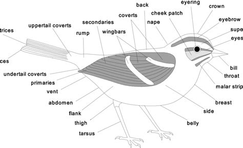 commonly  terms   body parts   bird