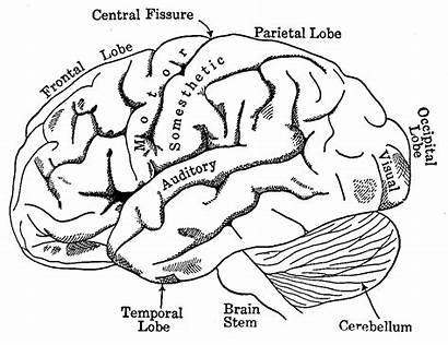 Coloring Human Pages Brain Agnosia Anatomy Diagram