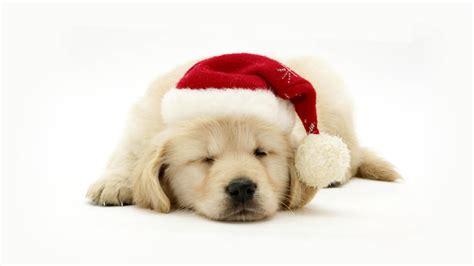 Best wallpaper phone christmas dog 36 id. Christmas Dog Wallpaper for 1920x1080