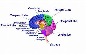 The Human Brain And Law Of Attraction