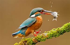 A kingfisher with its prey : pics  Kingfisher