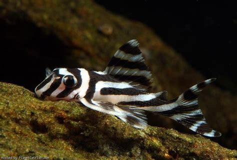 hypancistrus zebra aquarium fish fresh water fish tank