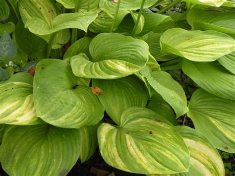 can hostas survive in sun 3273 best images about hostas on pinterest hosta gardens perennials and green leaves